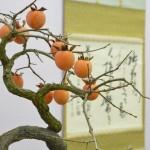 taikan ten - dyospiros kaki - plaqueminier du Japon