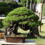 cultiver et entretenir son bonsaï