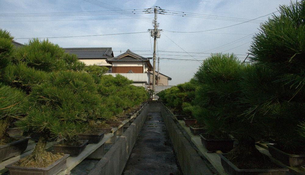 étagères de bonsai de pin noir à shunshoen - kinashi