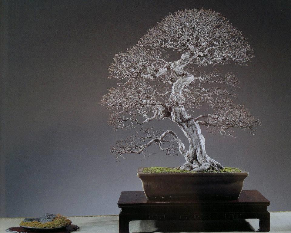 bonsai de charme (carpinus japonica)