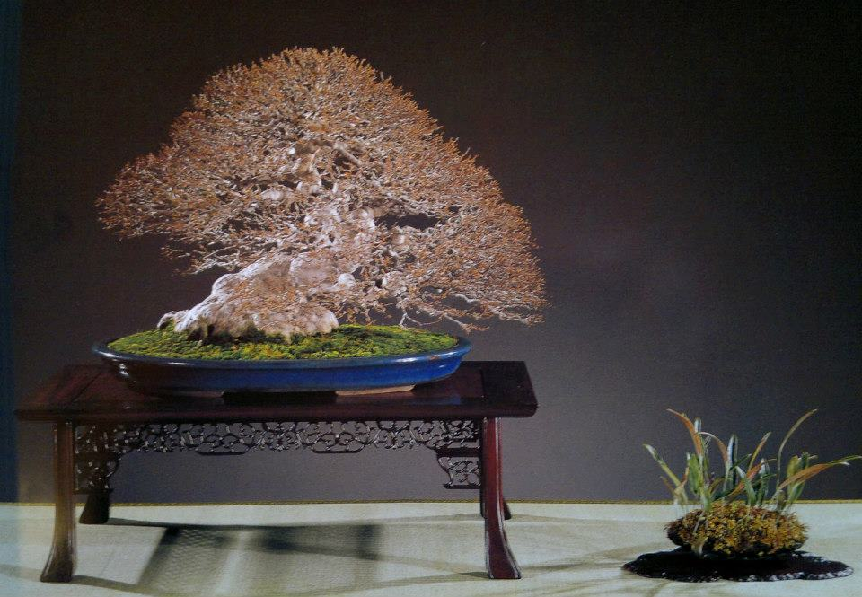 bonsai érable buerger - shitakusa de fougère