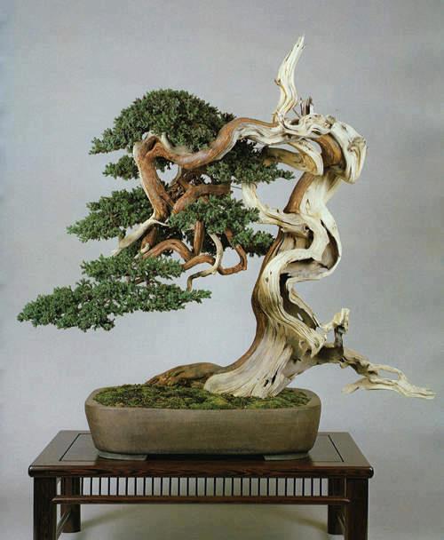 bonsai genévrier shimpaku