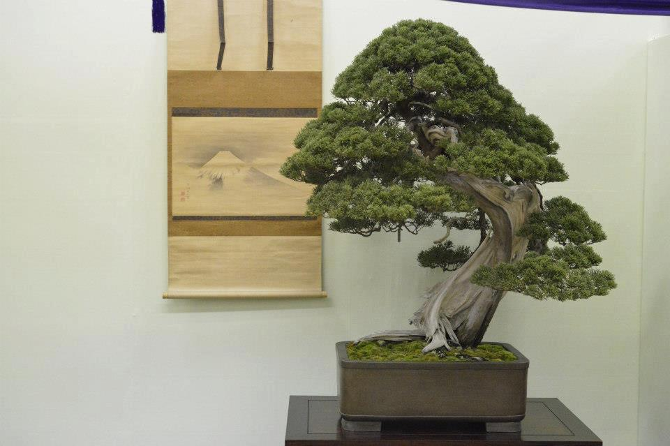 bonsai juniperus shimpaku