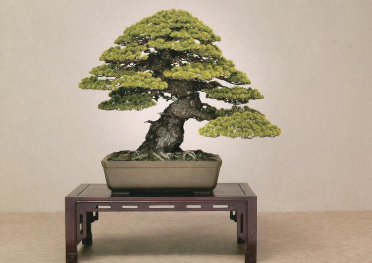 bonsai pin blanc - goyomatsu