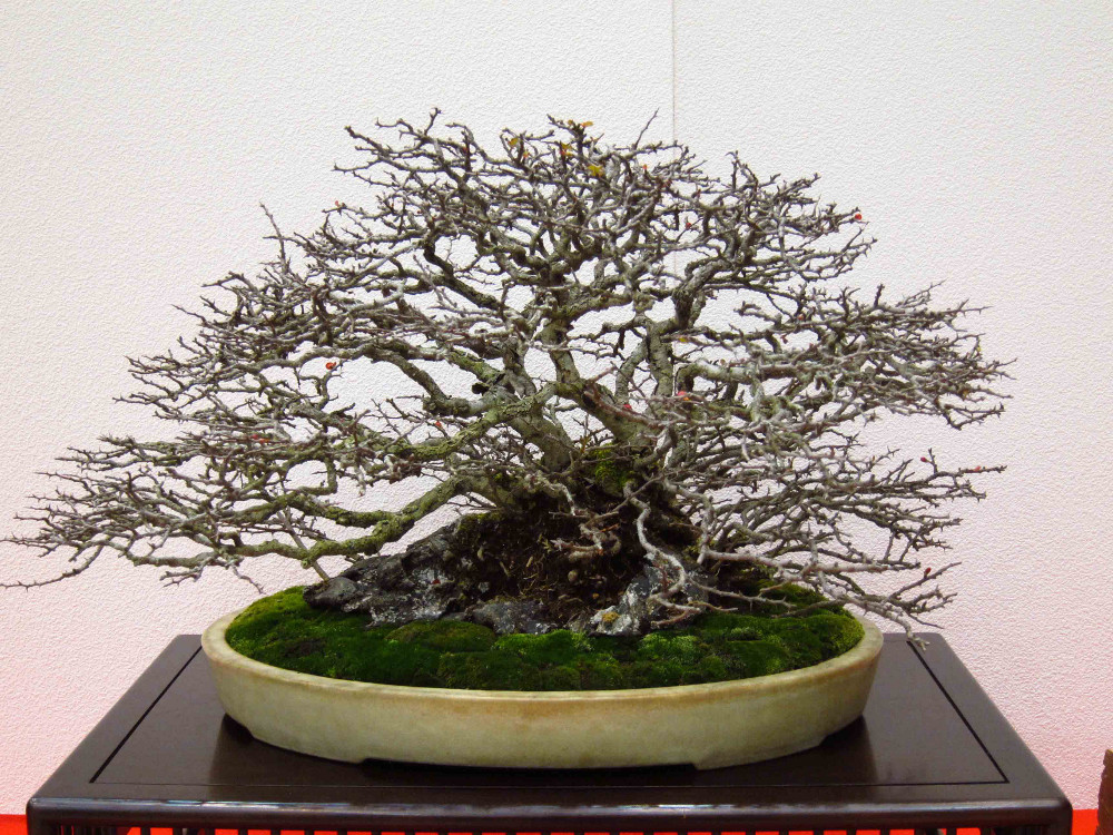 gomangoku bonsai exhibition 07