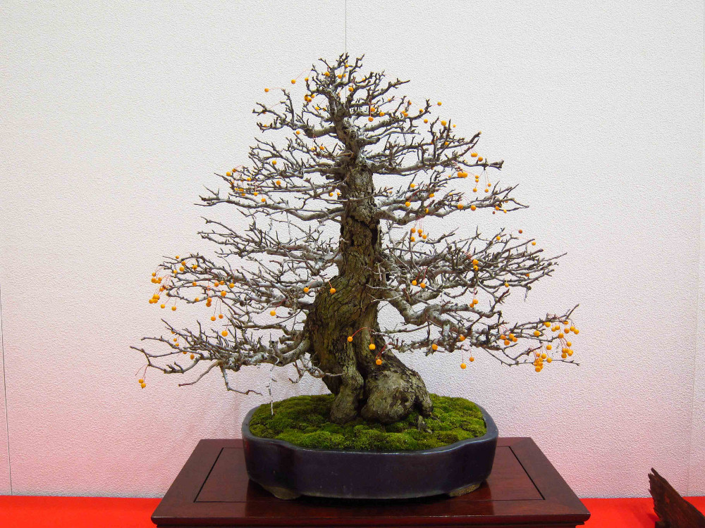 gomangoku bonsai exhibition - malus sieboldii