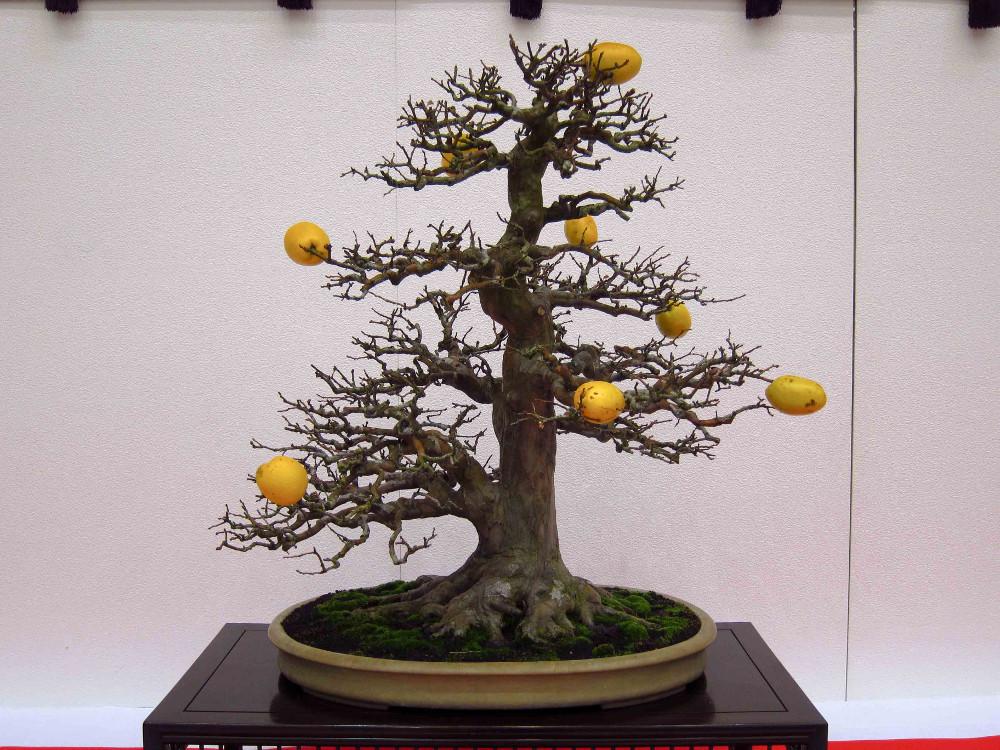 gomangoku bonsai exhibition - pseudocydonia sinensis