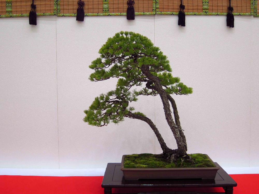 gomangoku bonsai exhibition 10 - Un pin blanc triple tronc très délicat