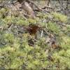 pin sylvestre - la voie naturelle - jardin arboretum bonsai