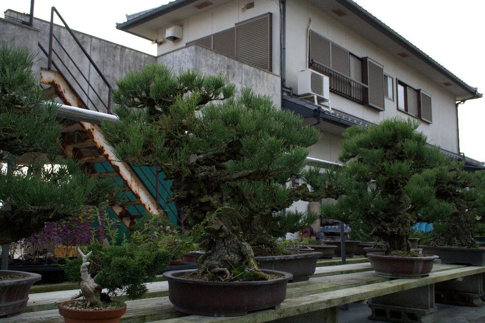 shunshoen - kinashi bonsai
