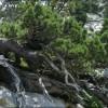bonsai le pin a crochet selon la voie naturelle