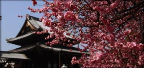article hanami fete des cerisiers