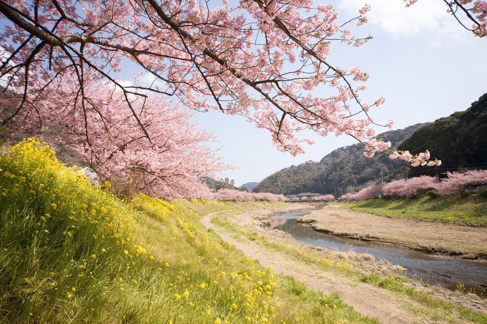 cerisiers-en-fleur-au-Japon-hanami-30