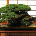 Revue du bonsai web – mars 2013 n°17