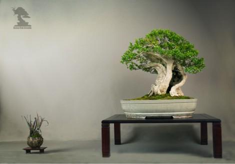Buis Sempervirens - Exposition du bonsai club Girondin