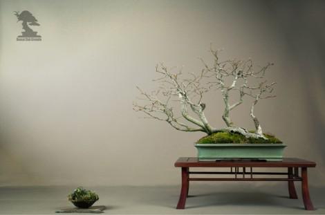 Hêtre, Fagus Sylvatica - bonsai club Girondin