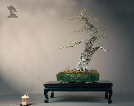 Aubépine - Exposition du bonsai club Girondin