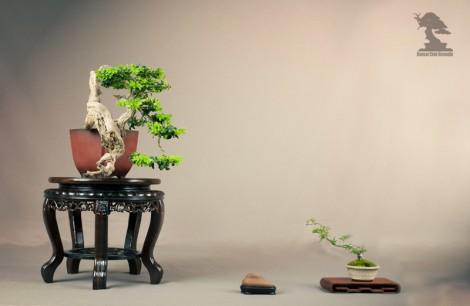 Buis - bonsai club Girondin