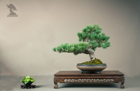 Pin - bonsai club Girondin