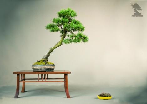 Pin Sylvestre - Exposition du bonsai club Girondin