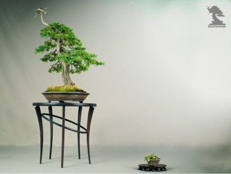 If, Taxus Baccata - Exposition du bonsai club Girondin
