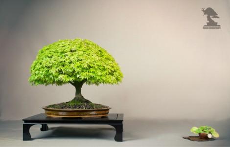 Erable palmatum - bonsai club Girondin