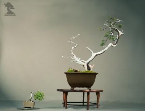 Genévrier Cade (oxycedrus) - Exposition du bonsai club Girondin