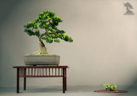Buis des Corbières - Exposition du bonsai club Girondin