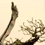 EBA 2013 France - prunus mahaleb - thierry font 16