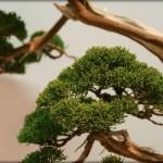 EBA 2013 – deux bonsaïs exceptionnels