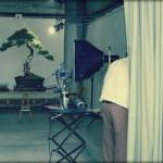 Un yamadori de pin sylvestre nommé Goliath – histoire d'arbre