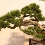 pinus uncinata - oscar roncari - 05