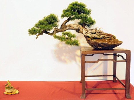 pinus uncinata - oscar roncari - maxime bolzer