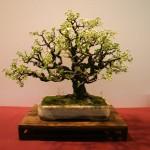 prunus mahaleb - oscar roncari - 02