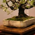 prunus mahaleb - oscar roncari - 13