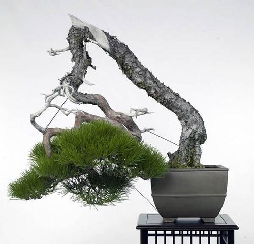 pin rouge bonsai - hiramatsu