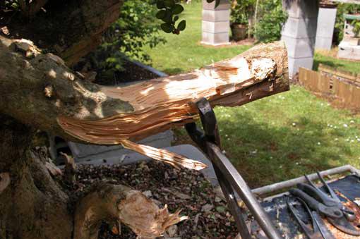 Premier travail sur le bois mort du buis