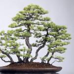 Pin blanc bonsaï de style radeau
