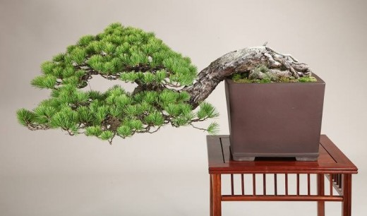 bonsai style semi-cascade - pin blanc 01