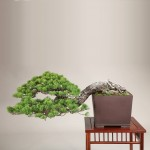 Pin blanc bonsaï de style semi-cascade