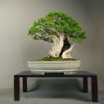 Histoire d'arbre, un buis : La Bouche du Dragon