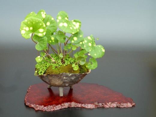 kusamono Farfugium japonicum