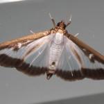 pyrale du buis - papillon