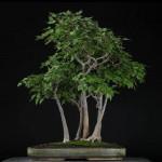 érable buerger bonsaï de style forêt