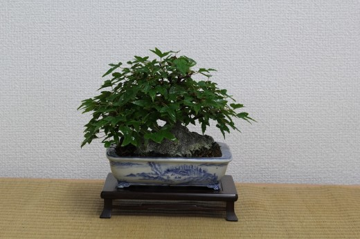 bonsai shohin érable buerger