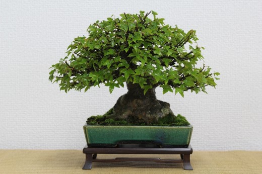 bonsai shohin érable buerger pot koyo