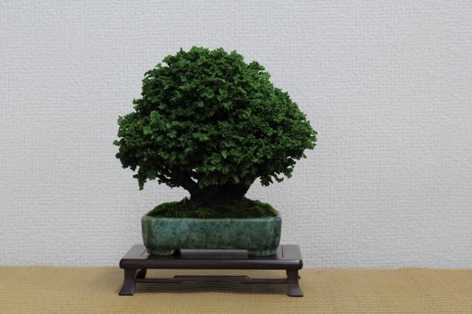 bonsai shohin cryptomeria