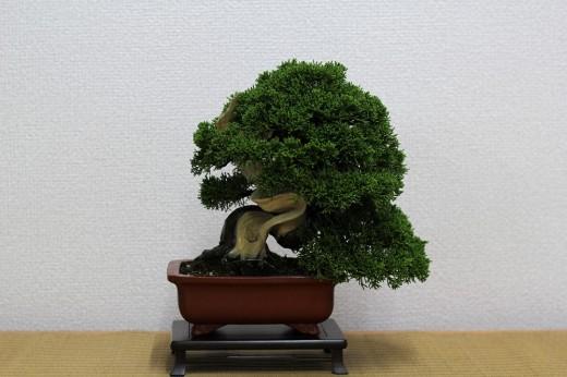bonsai shohin genévrier