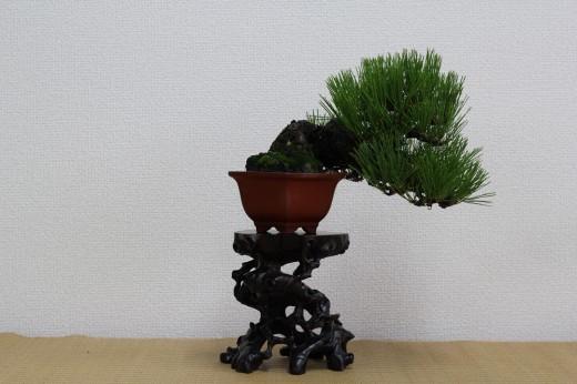 bonsai shohin genévrier pin noir