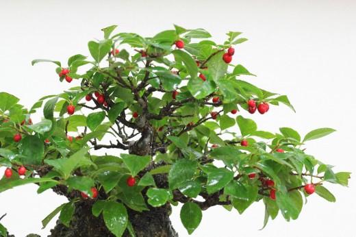 bonsai shohin ilex seratta 01
